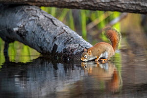 American red squirrel (Tamiasciurus hudsonicus) drinking  in a beaver pond early in the morning. Acadia National Park, Maine, USA.  -  George Sanker