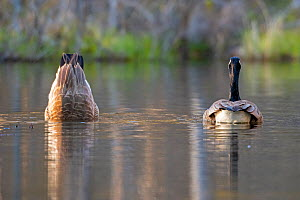 Canada goose (Branta canadensis) breeding pair  at sunset in a beaver pond feeding,  one upending  upside down in water , Acadia National Park, Maine, USA. May.  -  George Sanker