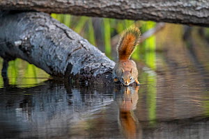 American red squirrel (Tamiasciurus hudsonicus) on tree trunk drinking in a beaver pond early in the morning. Acadia National Park, Maine, USA. May.  -  George Sanker