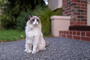 Portrait of ragdoll cat , male 'Magellan' aged 13 years, on path in front of domestic house steps. Australia.  -  Doug Gimesy