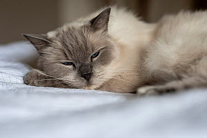 Portrait of domestic ragdoll cat , male 'Shiloh' age 13 on a bed. Brighton, Victoria, Australia  -  Doug Gimesy