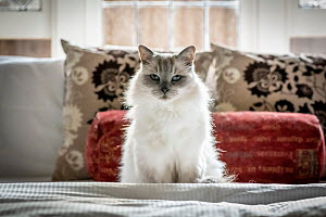 Portrait of domestic ragdoll cat , male 'Shiloh' age 13 on a bed. Brighton, Victoria, Australia.  -  Doug Gimesy