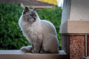 Portrait of domestic ragdoll cat , male 'Shiloh' age 13 on a verandah, looking out. Brighton, Victoria, Australia. March,  -  Doug Gimesy