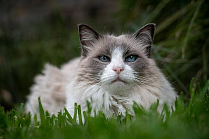Portrait of male 12 year old domestic cat , ragdoll breed, bicolour, named Magellan, in grass looking at camera. Brighton, Victoria, Australia.  -  Doug Gimesy