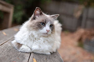 Portrait of domestic ragdoll cat , male 'Magellan' age 12, on wooden table bench outside.?Brighton, Victoria, Australia.  -  Doug Gimesy