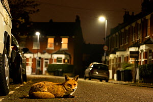Red fox (Vulpes vulpes) rests in an urban street at night, London,  England.  -  Matthew Maran