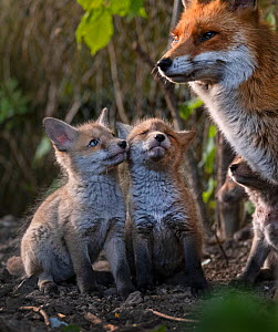 Red fox (Vulpes vulpes) vixen, with cubs looking up expectantly near den on urban allotment, North London, England. April 2020.  -  Matthew Maran