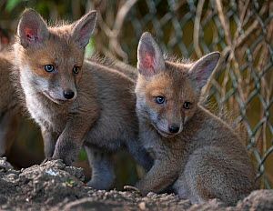 Red fox (Vulpes vulpes) cubs outside the entrance to the den on allotment, North London, England. April 2020.  -  Matthew Maran