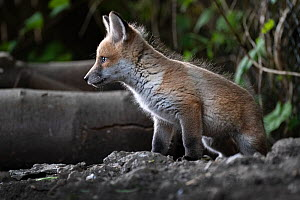 Red fox (Vulpes vulpes) cub at the entrance to the den on allotment, North London, England. April 2020.  -  Matthew Maran