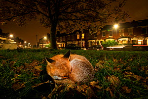 Red fox (Vulpes vulpes) resting on a green at night, North London,  England.  -  Matthew Maran