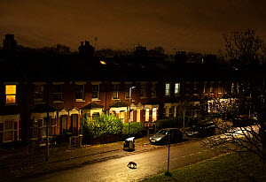 Red fox (Vulpes vulpes) walking along empty street at night,  North London, England.  -  Matthew Maran