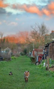 Red fox (Vulpes vulpes) trotting through a deserted allotment North London, England, during coronavirus lockdown, March 2020.  -  Matthew Maran