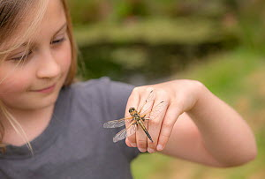 11-year old girl with a newly emerged four-spotted chaser dragionfly (Libellula quadrimaculata) on her hand, Cornwall, UK. April. Model released.  -  Ross Hoddinott