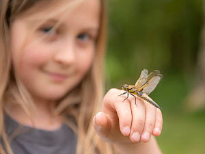 11-year old girl with a newly emerged four-spotted chaser dragionfly (Libellula quadrimaculata) on her hand, pond dipping and getting close/connecting with nature. Cornwall, UK. April. Model released.  -  Ross Hoddinott