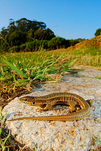 Bocage's wall lizard (Podarcis bocagei) basking on rock, Portugal  -  Fabio Pupin