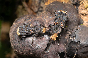 Scarce fungus weevils (Platyrhinus resinosus) eating King Alfred's Cake fungus {Daldinia concentrica} on dead ash tree. Peak District National Park, Derbyshire, UK. April. Nationally Scarce specie...  -  Alex Hyde