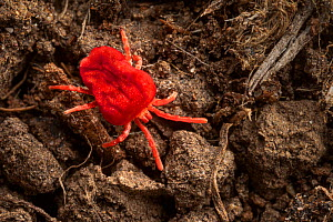 Red velvet mite (Trombidium holosericeum) running across soil where it hunts smaller invertebrates. Peak District National Park, Derbyshire, UK. April.  -  Alex Hyde