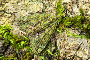 Red-green carpet moth (Chloroclysta siterata). Peak District National Park, Derbyshire, UK. April. Focus stacked image.  -  Alex Hyde