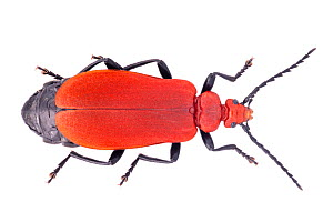 Red-headed Cardinal Beetle (Pyrochroa serraticornis) female. Females have serrate antennae whilst those of males are pectinate. Photographed on a white background. Peak District Natinal Park, Derbyshi...  -  Alex Hyde