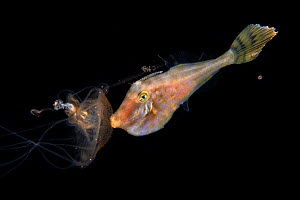 Filefish (Monacanthidae) holding on to a jellyfish using the stinging cells of the jelly to protect itself. Balayan Bay, off Anilao, Batangas, Philippines, Pacific Ocean. Magnus  -  Magnus Lundgren