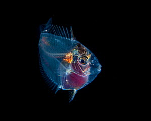 Juvenile transparent (Acanthuridae sp) most likely a surgeon or a unicorn fish, Balayan Bay, off Anilao, Batangas, Philippines, Pacific Ocean Minimum fees apply.  -  Magnus Lundgren