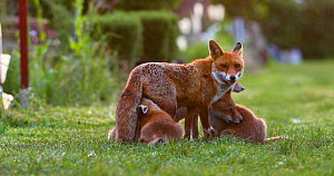 Red fox vixen (Vulpes vulpes) with four suckling cubs in an allotment, cubs start to play, London, England, UK, May.  -  Matthew Maran