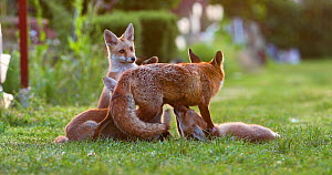 Red fox vixen (Vulpes vulpes) with four suckling cubs in an allotment, one jumping over her back, London, England, UK, May.  -  Matthew Maran
