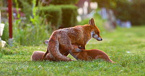 Red fox vixen (Vulpes vulpes) with two suckling cubs in an allotment, London, England, UK, May.  -  Matthew Maran