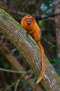 Golden lion tamarin (Leontopithecus rosalia) calling from a tree, Atlantic Forest, Brazil. June.  -  Suzi Eszterhas