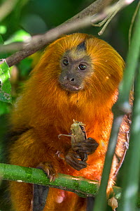 Golden lion tamarin (Leontopithecus rosalia) eating a grasshopper, Atlantic Forest, Brazil. June. Digitally removed bright highlights in foreground.  -  Suzi Eszterhas