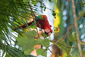 Red-and-green macaw (Ara chloropterus) feeding on fruit, Amazon, Brazil. June.  -  Suzi Eszterhas