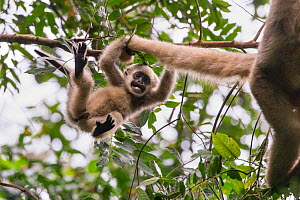 Northern muriqui monkey (Brachyteles hypoxanthus) juvenile aged one year, in tree playing with its mother's tail, RPPN Feliciano Miguel Abdala, Atlantic Forest, Brazil. June.  -  Suzi Eszterhas