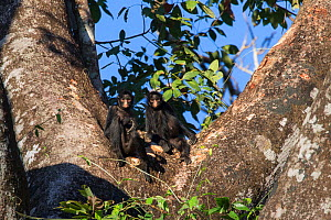 Black-handed spider monkey (Ateles geoffroyi) two in a tree, Amazon, Brazil. June.  -  Suzi Eszterhas