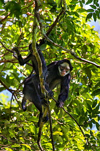 White-cheeked spider monkey (Ateles marginatus), Amazon, Brazil. June.  -  Suzi Eszterhas