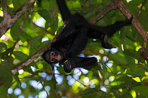White-cheeked spider monkey (Ateles marginatus) feeding upside down in a tree, Amazon, Brazil. June.  -  Suzi Eszterhas