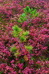 Pine seedlings and vaccinium, Passo della Erbe, Dolomites, Italy, October.  -  John Shaw