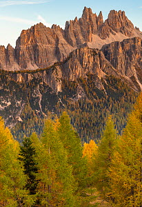 Croda da Lago and the Lastoni di Formin mountains with autumn larch trees (Larix decidua) in late afternoon, seen from near Cinque Torri, Dolomites, Italy. October 2019.  -  John Shaw