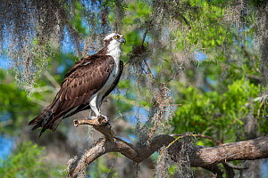 Osprey (Pandion haliaetus) perched in bald cypress tree (Taxodium distichum) draped with epiphytic Spanish moss (Tillandsia usneoides). Blue Cypress Lake, Florida, USA, April.  -  John Shaw