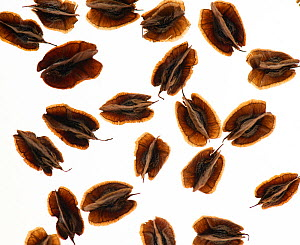 Chinese rhubarb (Rheum palmatum) Seeds, on white background, backlit. Each seed approx 5mm in size.  -  Adrian Davies