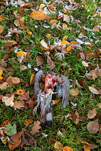 Sparrowhawk (Accipiter nisus) pigeon prey on ground, Surrey, UK.  -  Adrian Davies