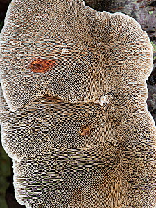 Birch mazegill bracket fungus (Lenzites betulinus) underside, maze like structure. Surrey, England, UK. October.  -  Adrian Davies