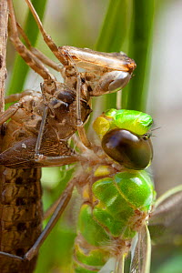 Emperor dragonfly (Anax imperator) newly emerged adult hanging on to exuvia , Bristol, UK, May  -  Michael Hutchinson