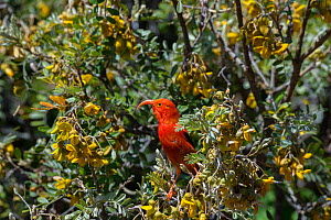 I'iwi / Scarlet honeycreeper (Vestiaria / Drepanis coccinea) feeding on blossoms of mamane tree, (Sophora chrysophylla) also an endemic species, Haleakala National Park, Maui, Hawaii. Endemic, Vul...  -  Doug Perrine