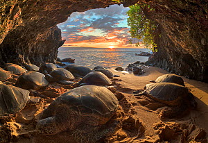 Hawaiian green sea turtles (Chelonia mydas) crowding into a small seaside cavern to bask at sunset. Resting on shore is a behaviour that is very rare for sea turtles, except in Hawaii and the Galapago...  -  Doug Perrine