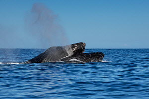 Humpback whales (Megaptera novaeangliae) male in a competitive group pushes on top of a rival male to force his blowhole underwater during a a competition for dominance and access to a female whale, K...  -  Doug Perrine