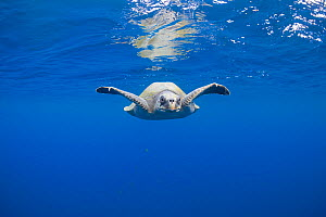 Olive Ridley sea turtle (Lepidochelys olivacea) swimming in open Pacific ocean, off southern Costa Rica.  -  Doug Perrine