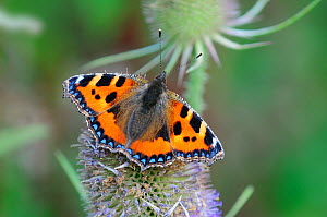 Small tortoiseshell butterfly (Aglais urticae) on Teasel flower head, Dorset, UK. August.  -  Colin Varndell
