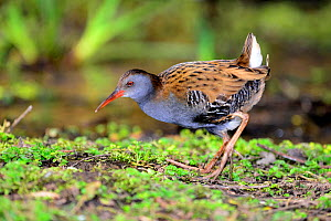 Water rail (Rallus aquaticus) in early spring, Dorset, UK. March.  -  Colin Varndell