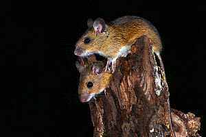 Wood mice (Apodemus sylvaticus) climbing on tree stump, Dorset, UK. October.  -  Colin Varndell
