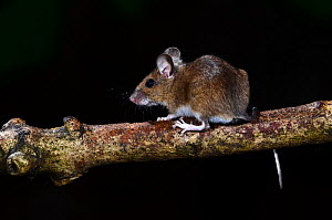 Wood mouse (Apodemus sylvaticus) climbing on ash branch, Dorset, UK. August.  -  Colin Varndell